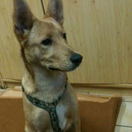 Baylee, Huskey-Mix, 5 Monate