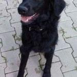 Leo, Labrador-Mischling, 8 Monate