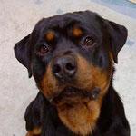 Ares, Rottweiler, 2 Jahre