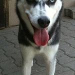 Aryel, Husky, 2,5 Jahre