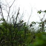 Salziger See (Sachsen-Anhalt): Drei Bienenfresser auf einem Baum