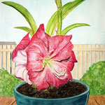 A New Amaryllis