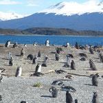 Ile a pingouins