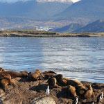 ïle aux lions de mer et cormorans