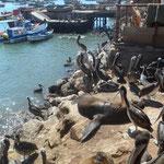 Lions de mer et pélicans sur le port... on vous laissse deviner l'odeur
