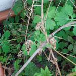 Polemonium caeruleum mit Clematis alpina und Chelidonium majus
