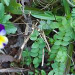 Polemonium caeruleum mit Viola tricolor und Dianthus armeria