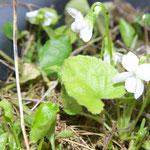 Viola alba – weisses Veilchen