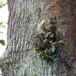 Wildkatze am Baumstamm
