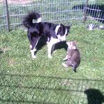 Kontakt zu Saarloos-Wolfhonden-Welpen