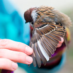 Feldsperling mit weißer Handschwinge / Tree sparrow with white primary feather