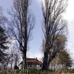 Blick durch die legendären Pappeln am Ufer des Schwielowsee. April 2004.