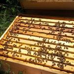 Ein schönes starkes Bienenvolk