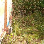Jungbienen fliegen sich ein