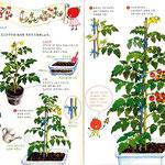 フレーベル館発行「しぜん キンダーブック7 トマト」 2008年