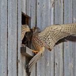 Turmfalke übergibt seinem Weibchen eine Maus