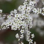 Blüte vom Schwarzdorn