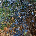 Früchte vom Schwarzdorn