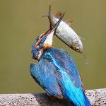 Eisvogel Männchen mit Fisch für die Jungen
