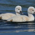 Junge Schwäne, Synchronschwimmer
