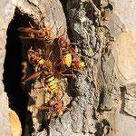 Hornissennest in einem hohlen Baum