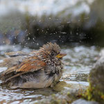 Haussperling Männchen beim baden