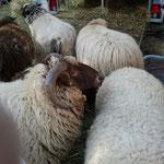 ... und ein paar Schafe mit schöner Wolle