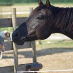 Quarterhorse Blue schaut sich das kleine Ding genau an ;)