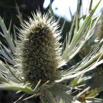 Gresse en Vercors - Automne - Chardon (www.gressedolomites.fr)