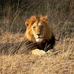 Löwe - Kenia