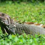 Grüner Leguan (wild) - Panama