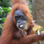 Orang Utan (wild) - Sumatra