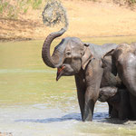 Elefantenherde im Yala NP auf Sri Lanka