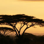 Schirmakazie - Kenia