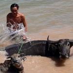 Wasserbüffel Erfrischung - Kambodscha