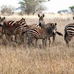 Zebras - Kenia