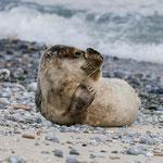 Ein Seehund Baby räkelt sich auf der Helgoländer Düne. Juni/Juli ist perfekt für Seehundbabys, November für Robbenbabys.