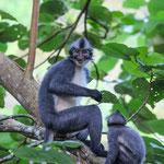 Thomas Leaf Monkey auf Sumatra - Indonesien