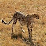 Gepard - Kenia