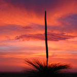 Grasbaum - Westküste Australien