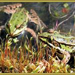 Teichfrosch (Familie der Grünfrösche)