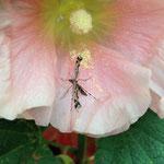 Federgeistchen, eine Schmetterlingsart