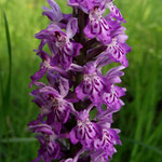 Breitblättriges Knabenkraut (Orchidee)