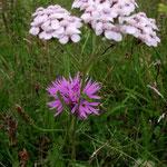 Sumpfgarbe und Wiesenflockenblume