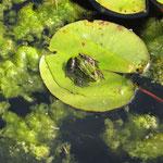 Teichfrosch auf Seerosenblatt