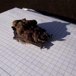 Auch eine Fledermaus kann sich 'mal verirren