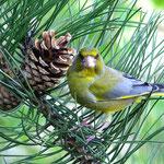 Grünfink am Zapfen
