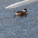 Kappensäger im Eckernförder Hafen (nicht heimischer Vogel; Kanada)