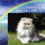 Shiva nahm am 9. Juli 2010 die Regenbogenbrücke - und wurde von Ihrem Nierenleiden infolge PKD-Erkrankung erlöst.