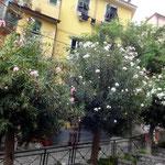 Oleander in Baumform!